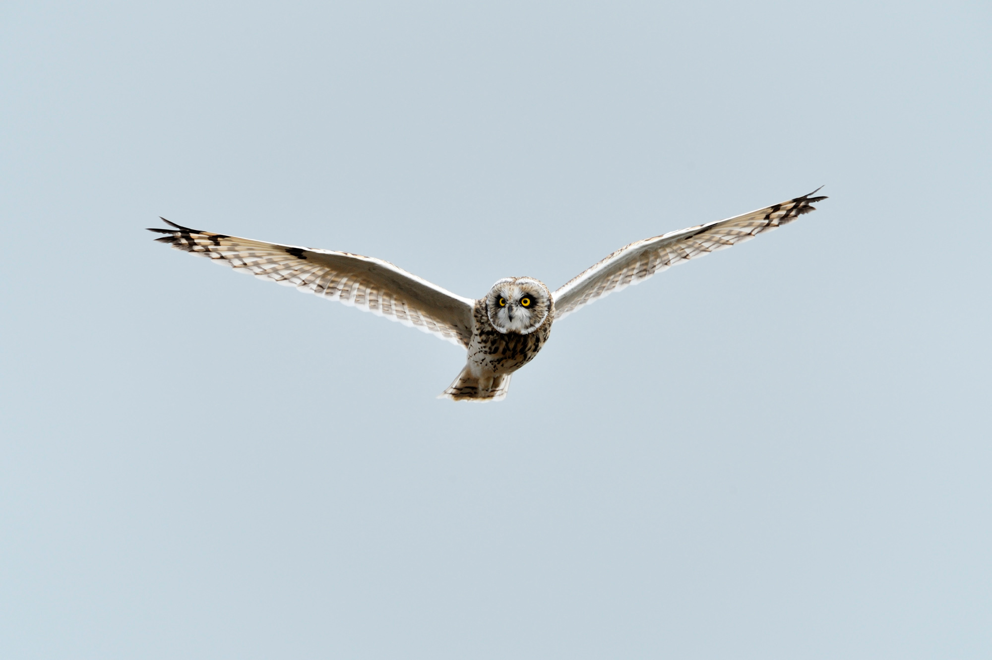 Short Eared Owl - Top Banner