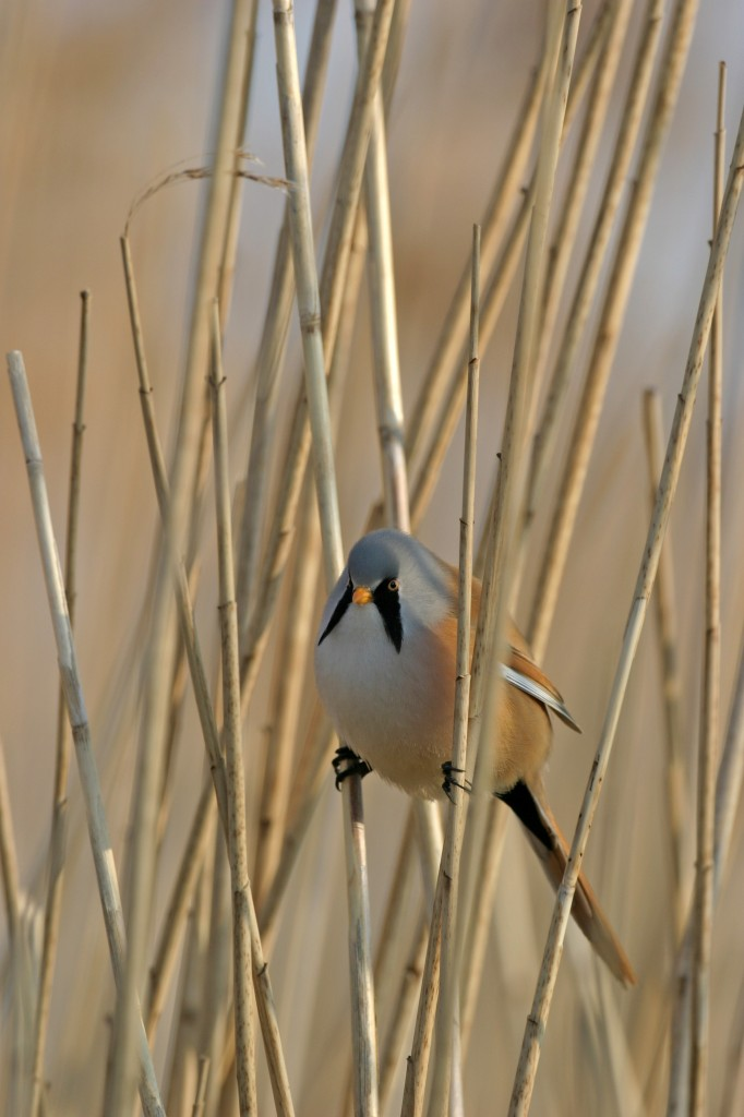 Bearded Tit copyright Eric McCabe, www.wildscot.co.uk