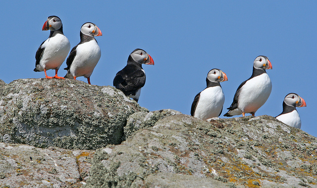 Puffins, Isle of May © Jonathan Osborne