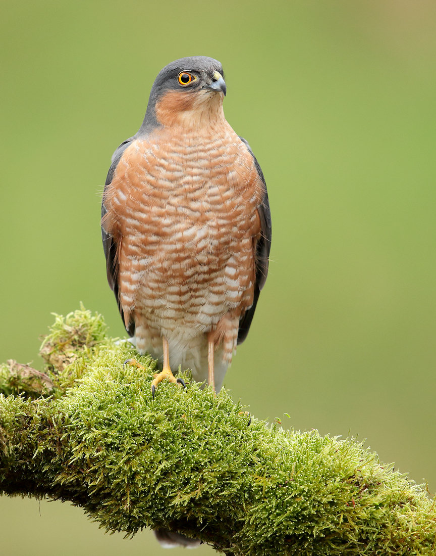 Sparrowhawk adult male
