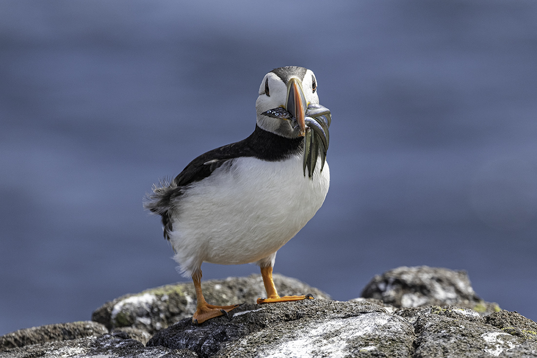 Puffin with sand eels