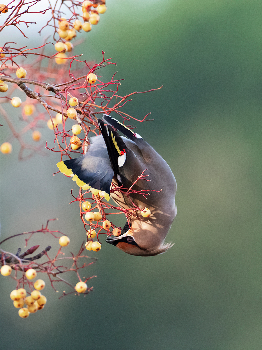 Waxwing on the stretch