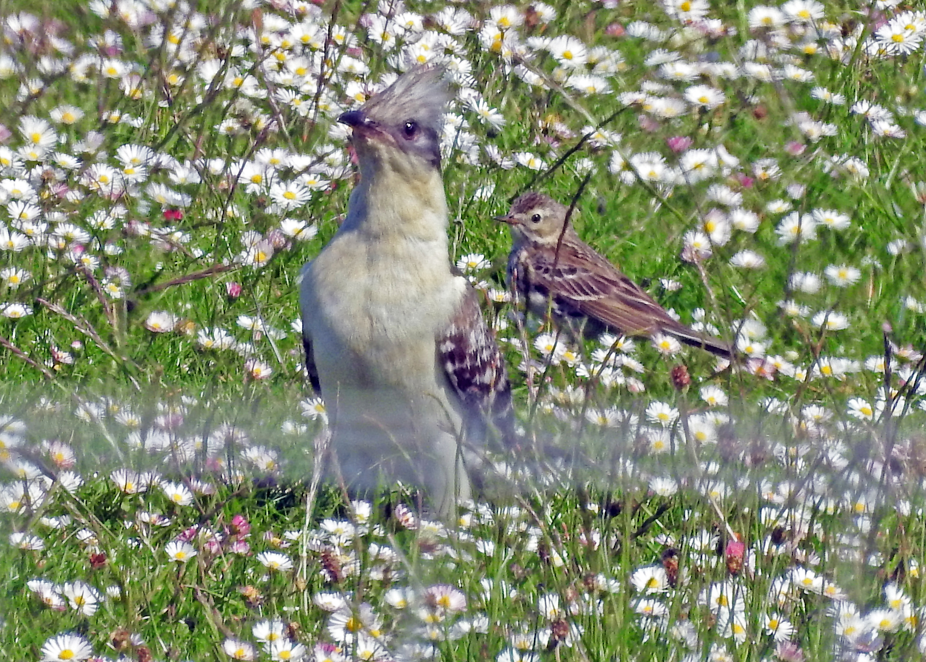 GREAT SPOTTED CUCKOO on Iona, Argyll