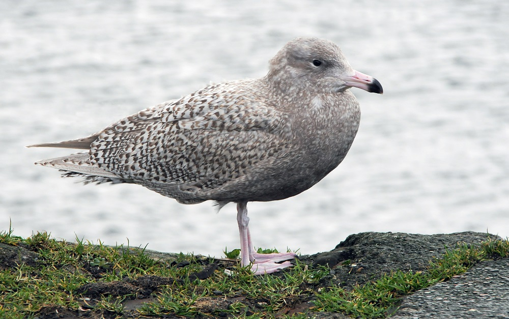 First-winter Gluacous Gull in Troon harbour