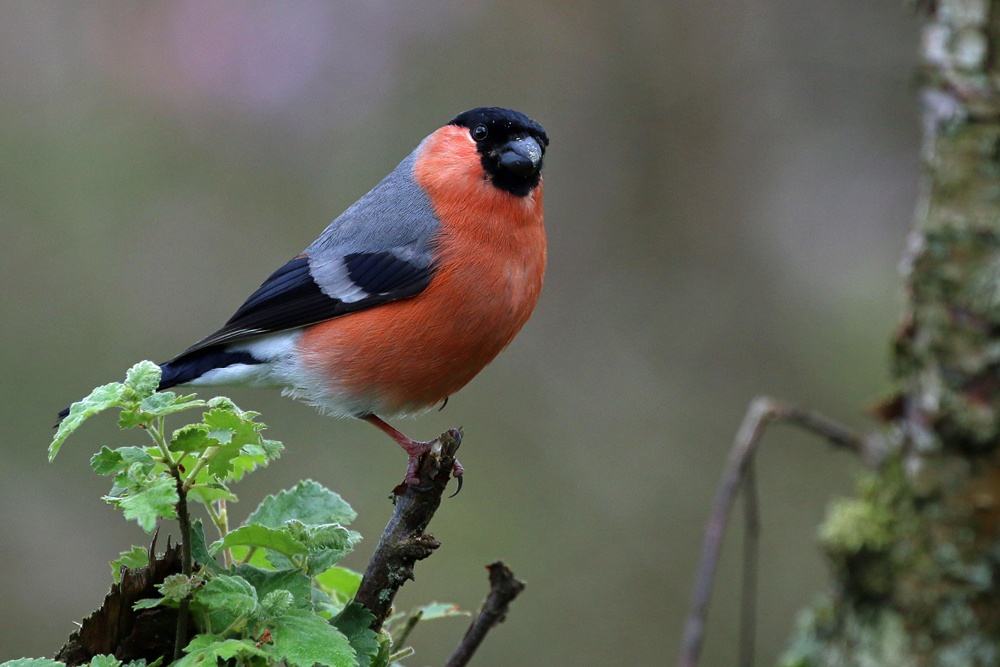 Bullfinch, Torwood