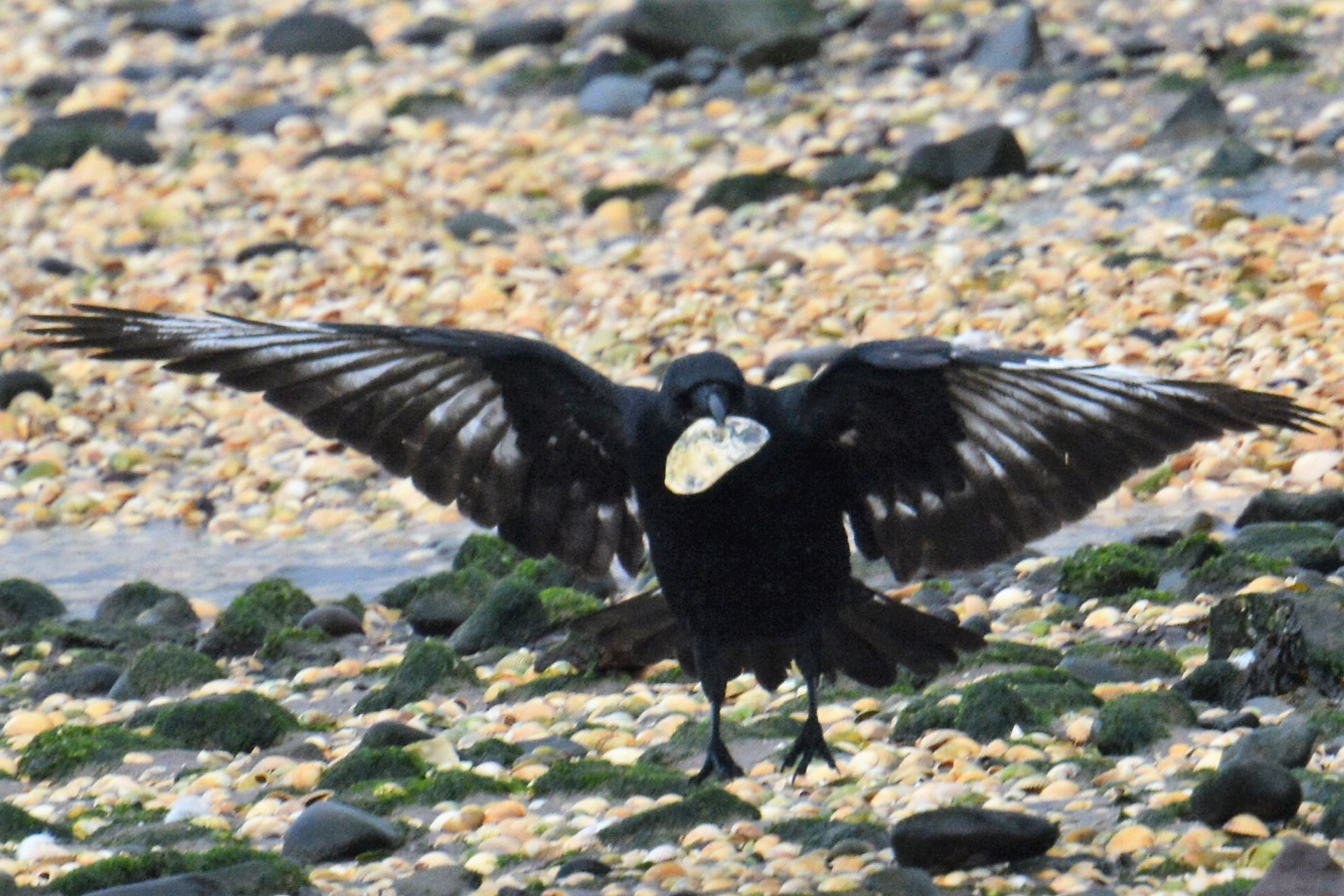 Carrion Crow with shell